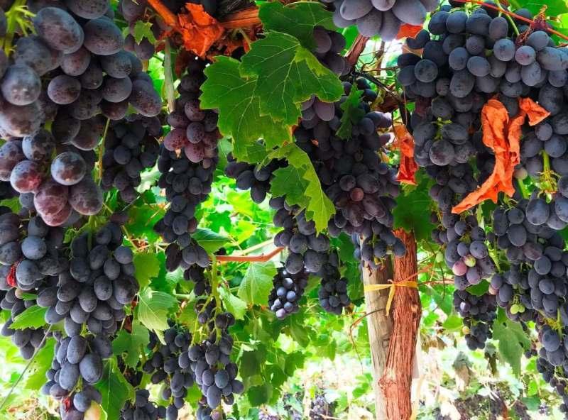 Mejor calidad y postcosecha en uvas de mesa