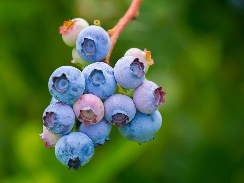 cultivo de arandanos Chile