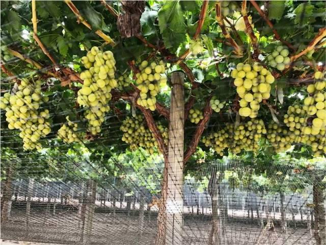 Evaluación de portainjertos de uvas de mesa y sus efectos